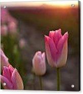Pink Glory Acrylic Print