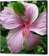 Pink Hibiscus Acrylic Print by Gregory Young
