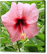Pink Hibiscus V2 Acrylic Print