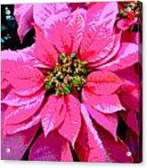 Pink Holiday Poinsettias Acrylic Print