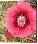 Pink Hollyhock 1 Acrylic Print