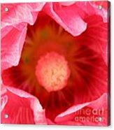 Pink Hollyhock 2 Acrylic Print