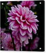 Pink II Acrylic Print