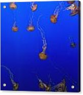 Pink Jellyfish Floating In A Tank At Acrylic Print
