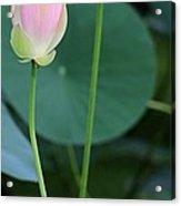 Pink Lotus Buds Acrylic Print