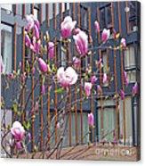 Pink Magnolia. Square Format Acrylic Print