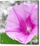 Pink Morning Glory Flower Acrylic Print