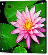 Pink Nymphaea Acrylic Print by Lisa  Spencer