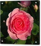 Pink Old English Rose Acrylic Print