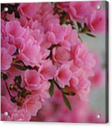 Pink Passion Acrylic Print