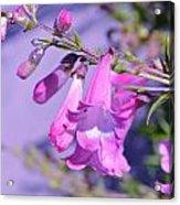 pink Penstemon  Acrylic Print