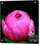 Pink Peony Bud Acrylic Print