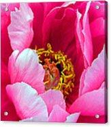 Pink Peony Close Up Acrylic Print