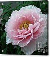 Pink Peony Flowers Series 2 Acrylic Print