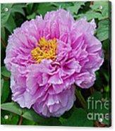 Pink Peony Flowers Series 9 Acrylic Print