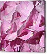 Pink Petal Pushing Acrylic Print