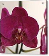 Pink Phalaenopsis Orchid  Acrylic Print