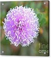 Pink Pompom Acrylic Print by Saifon Anaya