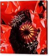 Pink Poppy Close Up Acrylic Print