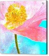 Pink Poppy On Blue Acrylic Print