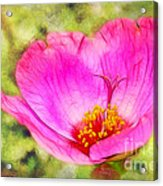 Pink Portulaca Acrylic Print