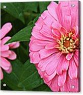 Pink Posy Pano Acrylic Print
