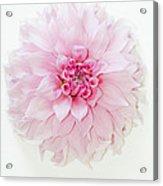 Pink Precious In White Acrylic Print