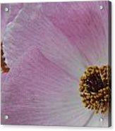 Pink Prickly Poppy Acrylic Print