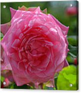 Pink Puzzled Rose Acrylic Print