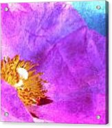 Pink Rock Rose On Blue Acrylic Print