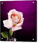 Pink Rose Against Purple Spotlight Acrylic Print by M K  Miller
