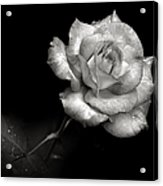 Pink Rose In Black And White Acrylic Print