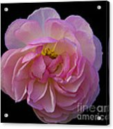 Pink Rose On Black Acrylic Print