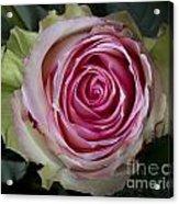 Pink Rose Spiral Acrylic Print