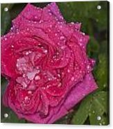 Pink Rose Wendy Cussons With Raindrops Acrylic Print