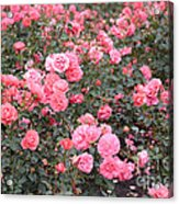 Pink Roses Canvas Acrylic Print