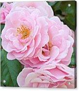 Pink Roses II Acrylic Print