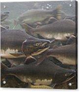 Pink Salmon Oncorhynchus Gorbuscha Acrylic Print