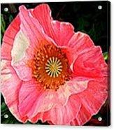 Pink Shirley  Acrylic Print