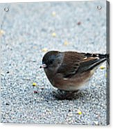 Pink-sided Junco Acrylic Print