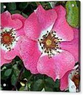 Pink Single Roses Acrylic Print