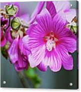 Pink Something-or-rather Acrylic Print