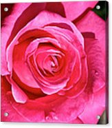 Pink Sunrise Rose Acrylic Print