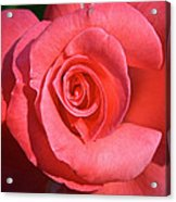 Pink Tea Rose Acrylic Print