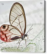 Pink-tipped Clearwing Satyr Cithaerias Acrylic Print