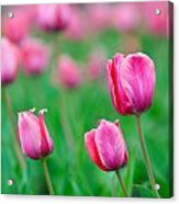 Pink Tulip Bed Acrylic Print