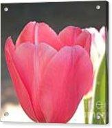Pink Tulip Beginning Acrylic Print