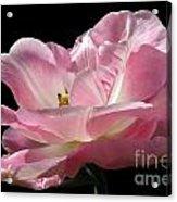 Pink Tulip Isolated Acrylic Print