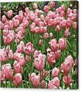 Pink Tulips 2 Acrylic Print