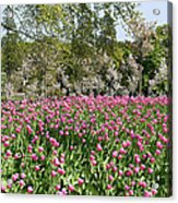 Pink Tulips And Blossom 1 Acrylic Print
